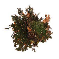 Roža anastatica - terarijsko okrasje