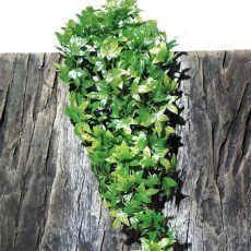 Terarijska rastlina TerraPlanta Congo Efeu - 50 cm
